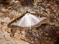 Latest New Micro Moth Species - Cydalima perspectalis