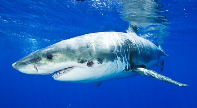 Λευκός καρχαρίας εκτινάσσεται 2,5 μετρά έξω από το νερό. Εντυπωσιακό βίντεο