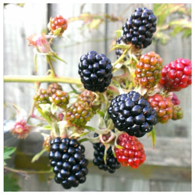 Miss Chaela Boo: Hello September - juicy blackberries