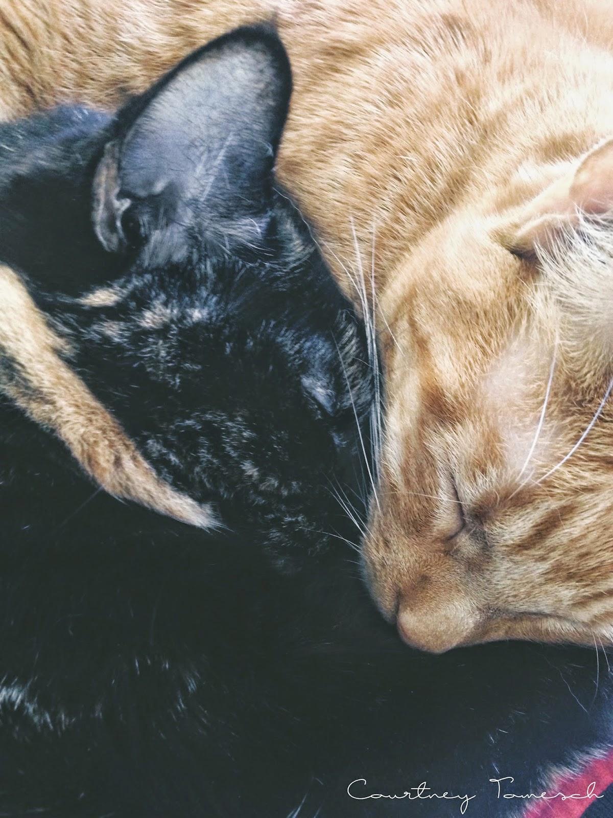 Katana Black Cat Cruz Ginger Cat