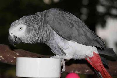 O Papagaio Judeu