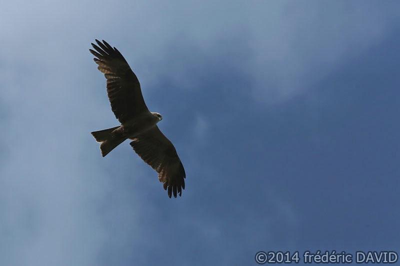animaux oiseaux rapace milan noir vol campagne ciel Sénart Seine-et-Marne