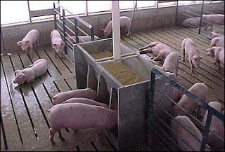 Nghành chăn nuôi heo công nghiệp tại Châu Á