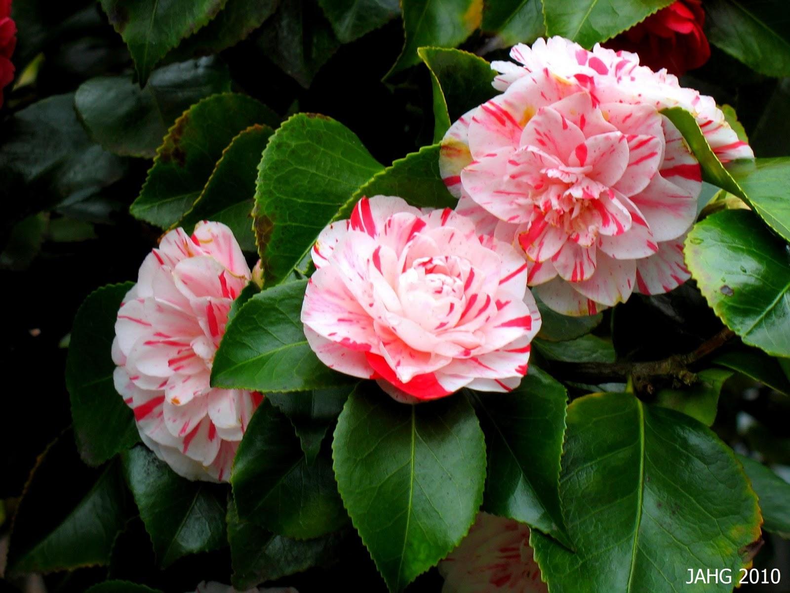 Camellia wallpaper - Camelia fotos ...