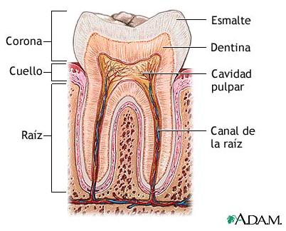 PS5-Anatomía dentaria para todos: Anatomía de un diente