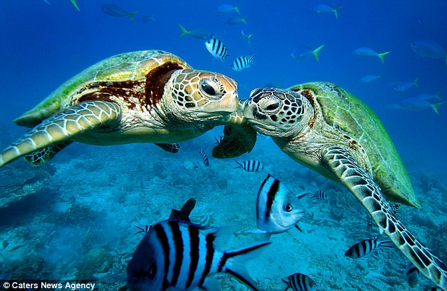 Incredible photos captures the moment a pair of green turtles appear ...