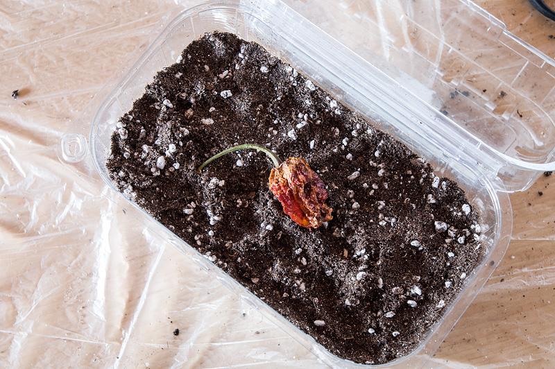 Improviziran mini rastlinjak DIY mini home garden Trinindad Moruga Scorpion seeds
