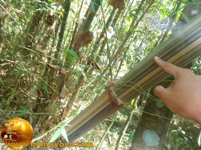 Bambu Gombong/ Awi Andong (Gigantochloa maxima Kurz)