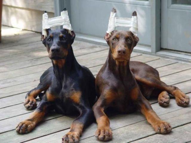 Cachorros com orelhas enfaixadas