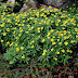 Caring For An Anemone Ranunculoides