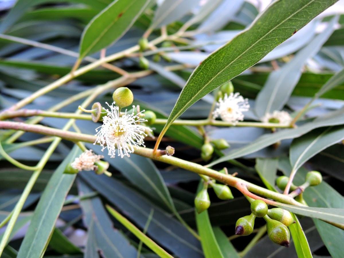 цветок эвкалипта