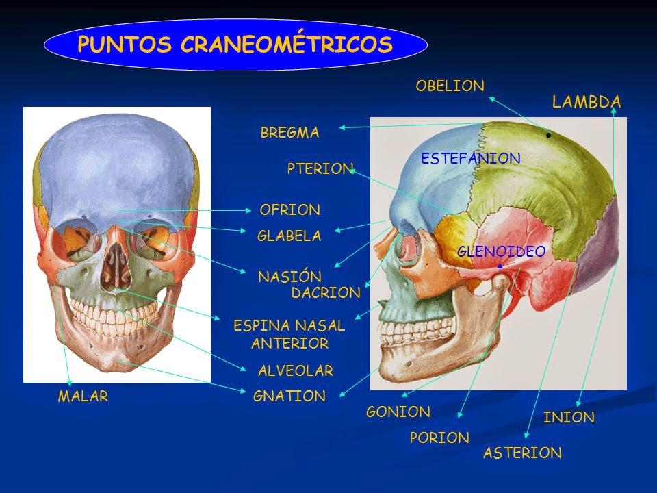 OSTEOLOGÍA DEL CRÁNEO : PUNTOS CRANEOMETRICOS