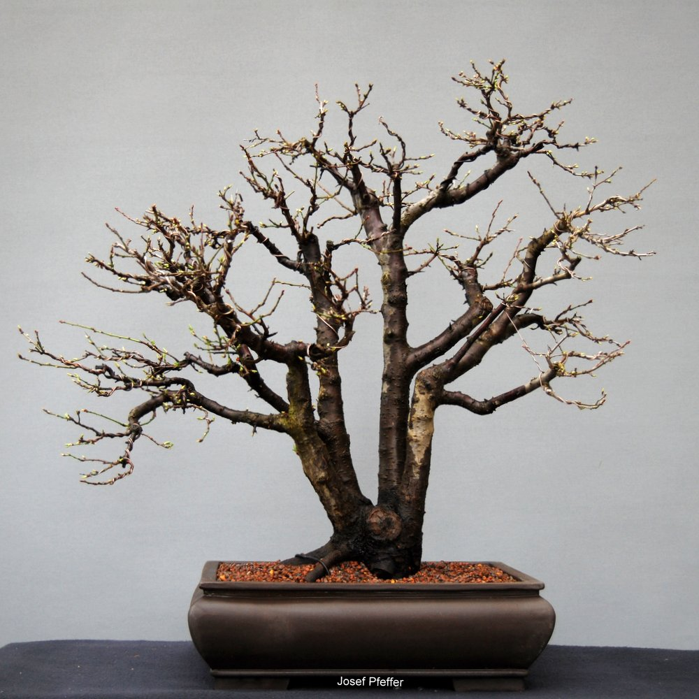 jupp s bonsai blog initialz ndung. Black Bedroom Furniture Sets. Home Design Ideas