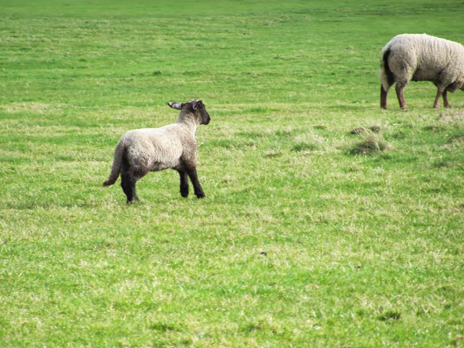 A lamb in Trim, Ireland