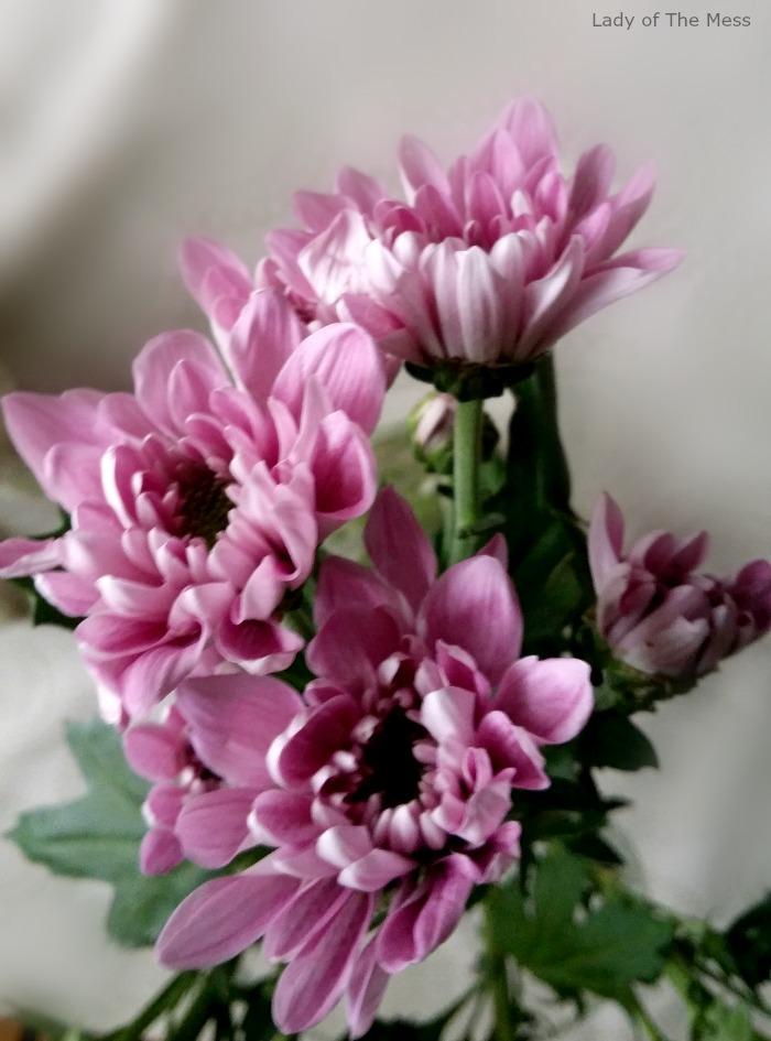 liilat krysanteemit, lilac krysantemums, kukka, flower