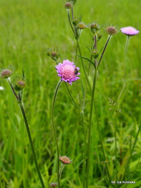 świerzbica polna , kwiaty , łąka , wiosna , lato