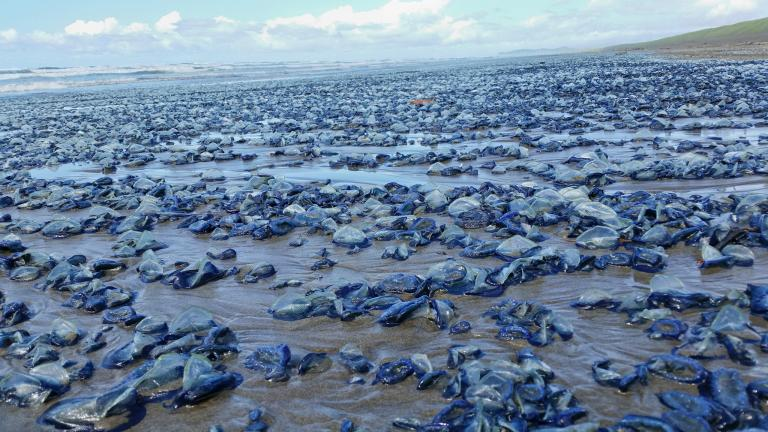 Carcasses of thousands of blue buttons wash ashore along the Odisha coast India as ecosystem...