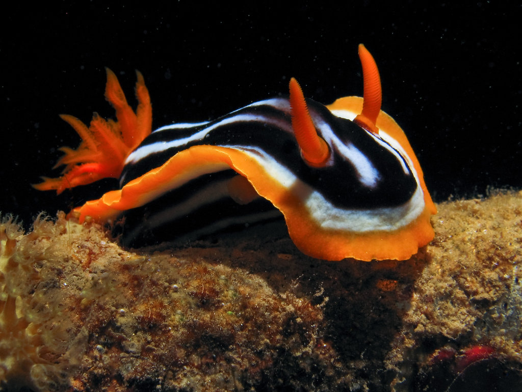 Sea slugs are not only harvested for food by humans, but is also used ...