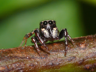 Hyppyhämähäkin näkö silmät