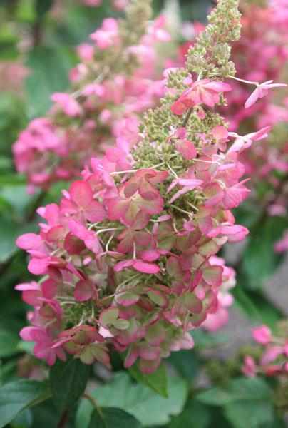 Hortensia - AGM -Hydrangea paniculata Pinky-Winky ('Dvppinky')