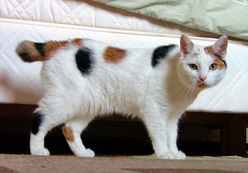 El Gato Sin cola