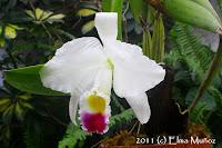 Cattleya trianae