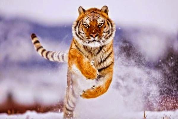 Παναγιώτης Χανός>Η ουρά της Τίγρης (ιπποτική νουβέλα)