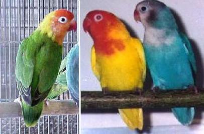 http://genuardis.net/gambar/gambar-burung-merpati-hias-piaraan-kicau ...