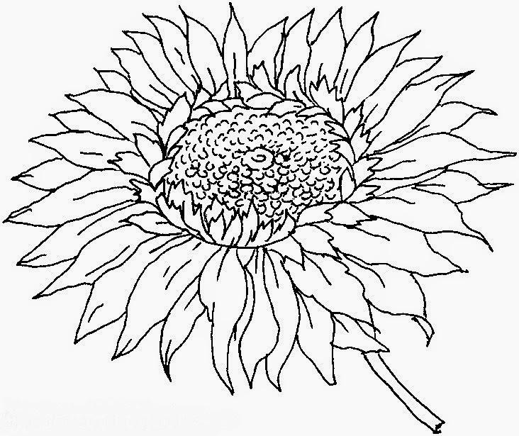 Gambar Mewarnai Bunga Matahari