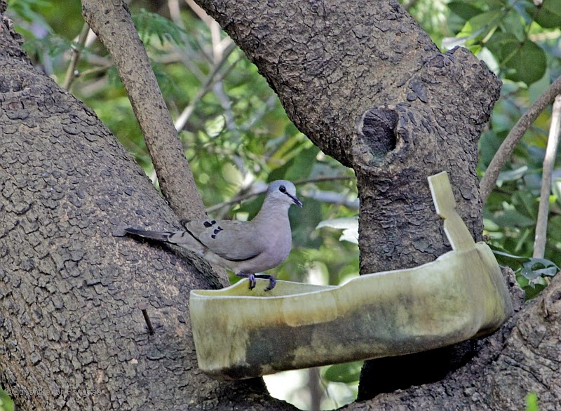 Black-billed Wood Dove in the Brufut Forest