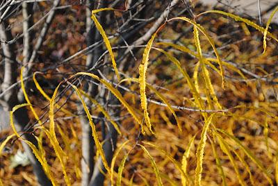 Крушина ломкая «Asplenifolia»