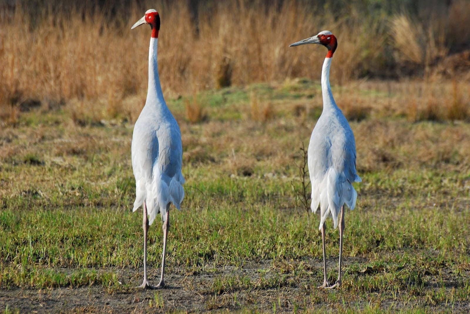 All about animal wildlife crane bird facts and images photos for The crain
