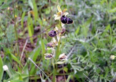Ophrys provincialis (Ofride provenzale)