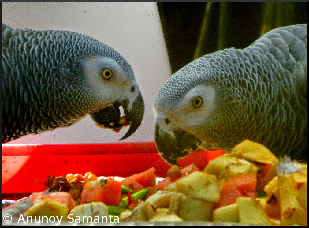 Parrots enjoying their Fruit Salad