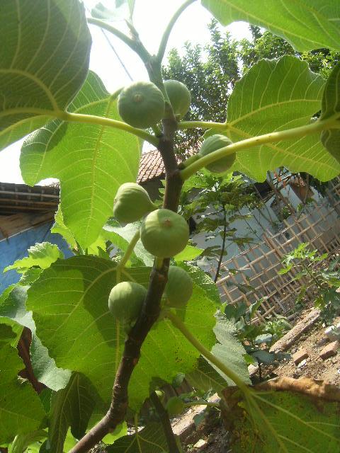 Syirian Fig