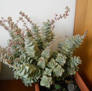 succulent crassula perforata