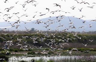 Estérnidos y gaviotas volando sobre la colonia. Terns and gulls flying over the colony
