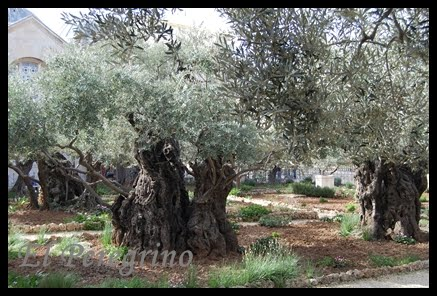 Olivo Plantado por Pablo VI