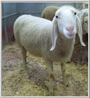 ovino, ovinocultura, leite, ovelha