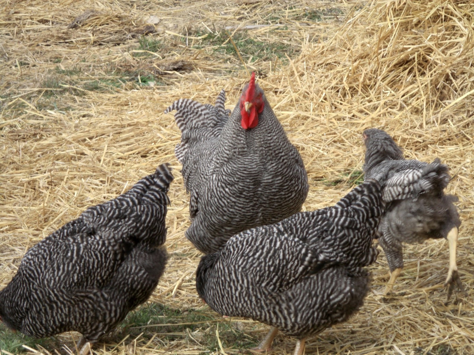 how to become a judge at american poultry standard