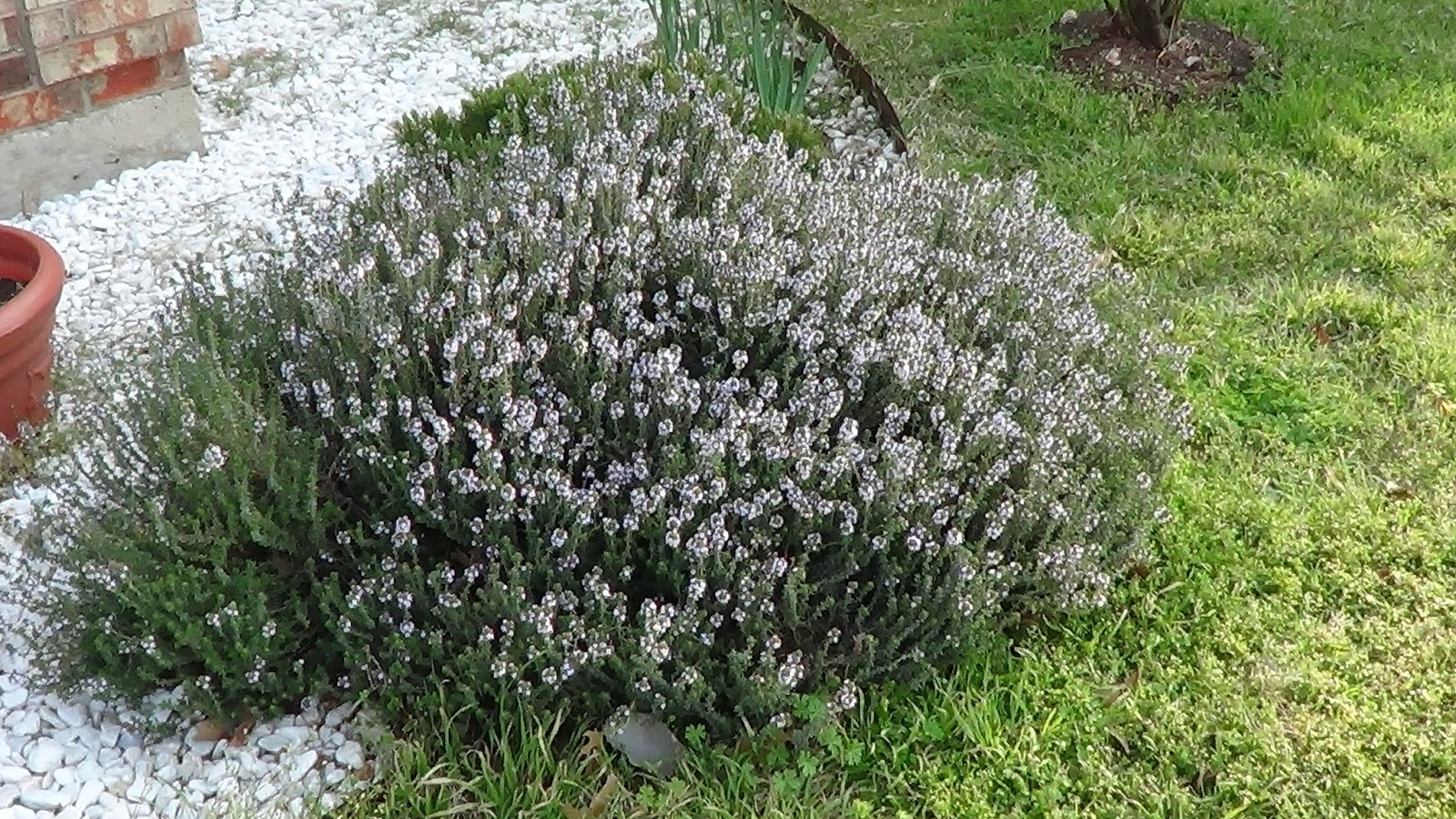 цветы тимьяна фото