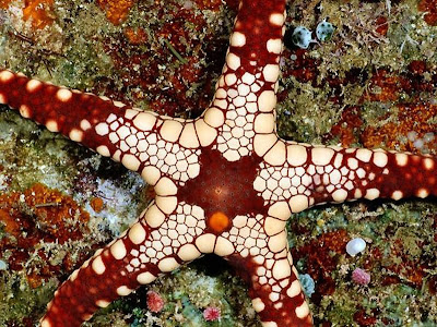 Beautiful Star Fish Seen On www.coolpicturegallery.us
