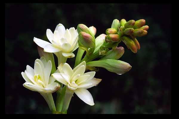 FlowerPictureTuberose