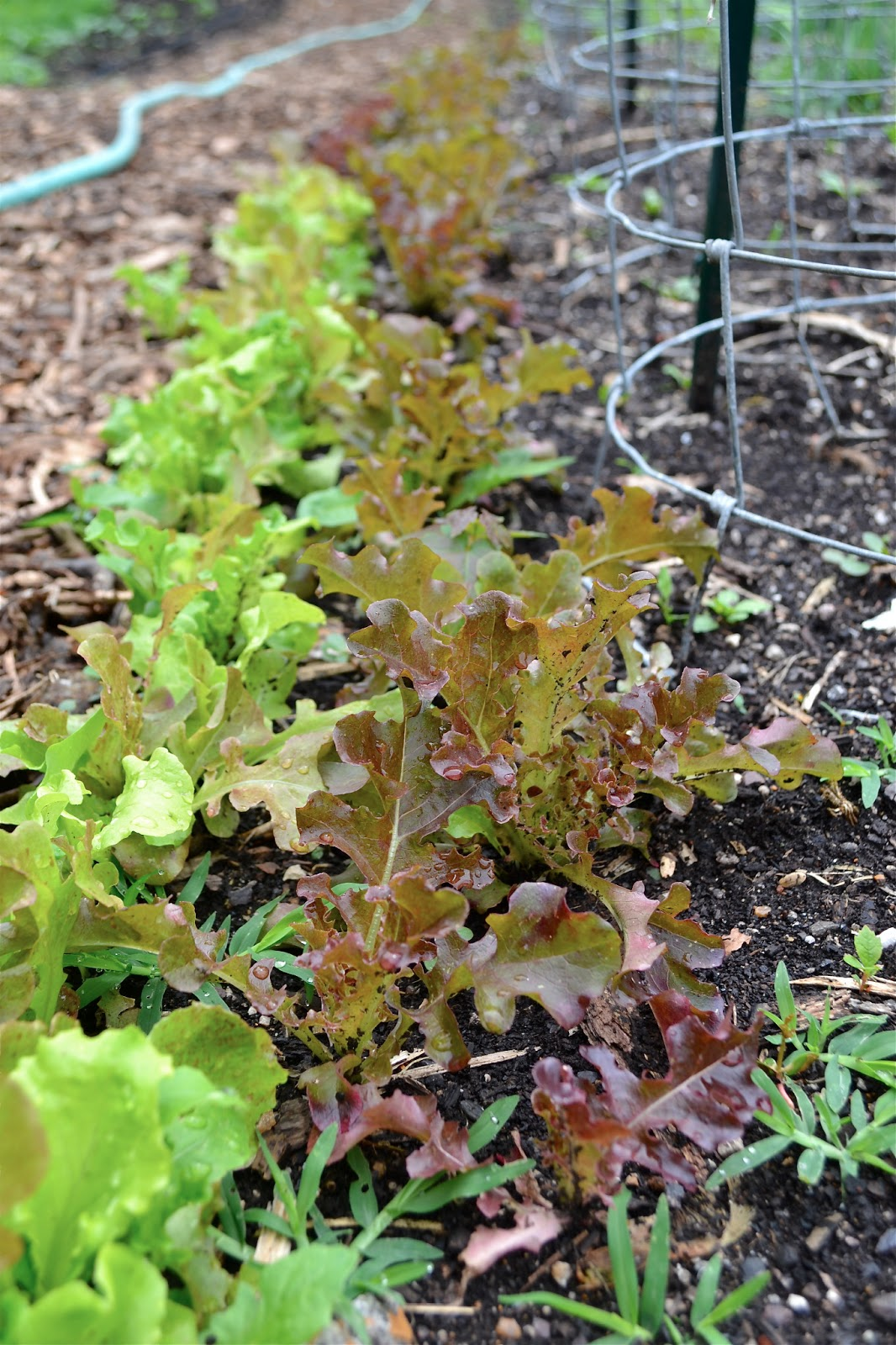 Oak leaf red lettuce in a community garden