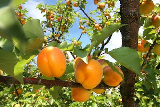 Picture: Apricot Looking good