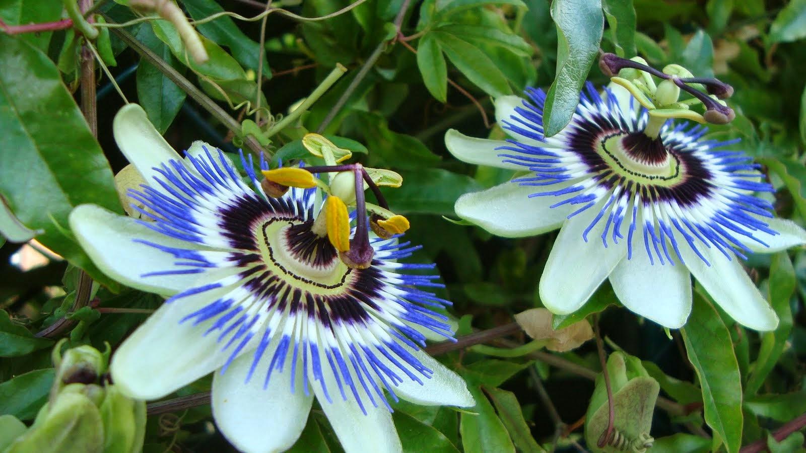 Pasiflora o flor de la pasi n o maracuy el rotativo de for Pasion com m