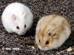 hamster%2B2 10 Perilaku Unik dan Janggal Induk Hewan Pada Anaknya