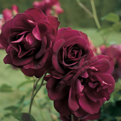 Deep Burgundy Rose Picture