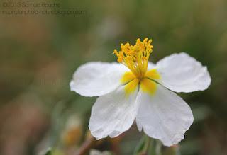 macro-fleur-blanche-jaune-héliantheme