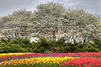 hoa tulip 12